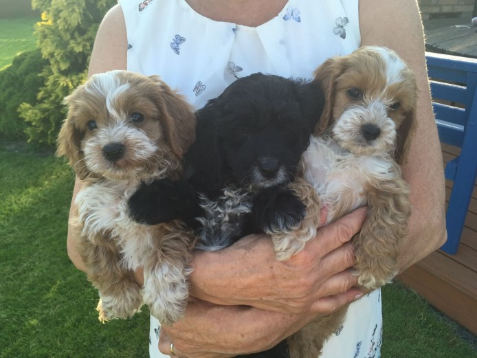 READY NOW F1 Cockapoo puppies