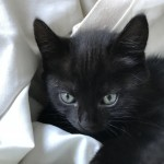 2 black female kittens for sale