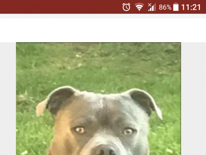 Beautiful Blue Staffordshire Bull Terriers