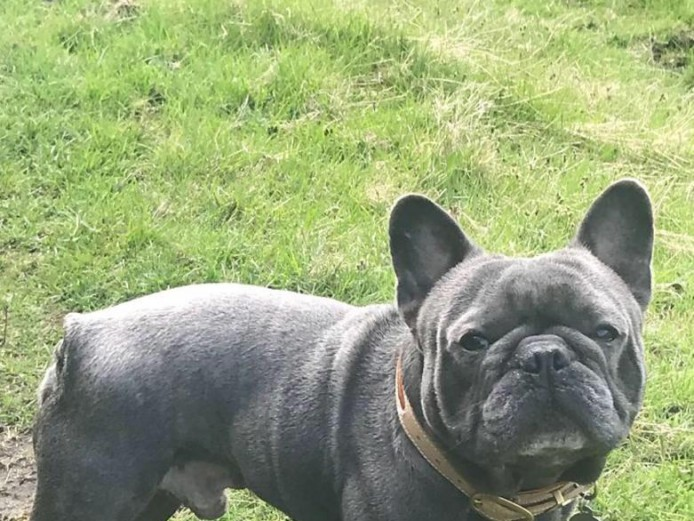 Beautiful solid blue kc registered French bull terriers