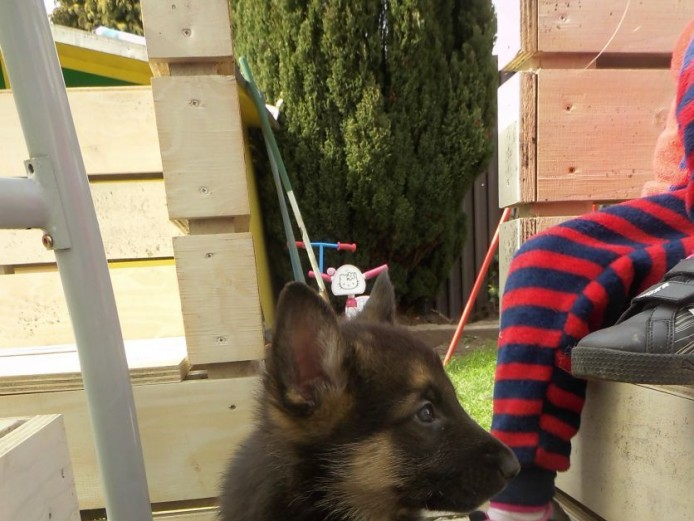 Superb Strong Litter Of German Shepherd Puppies for Sale