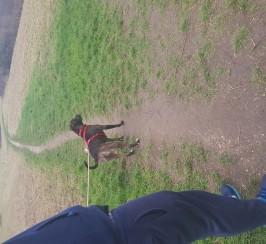 1 year old neatured staffie x Rottweiler