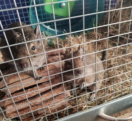 2 male degus and accessories