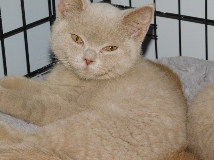 Tica Registered British Shorthair