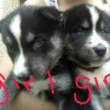 Pets  - Chunky utonagan pups