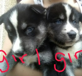 Pets  - Chunky utonagan pups