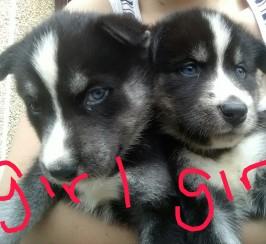Chunky utonagan pups