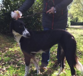 Saluki Collie Needs a New Home