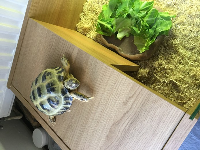 Horsefield Tortoise 2.5 years old with full setup