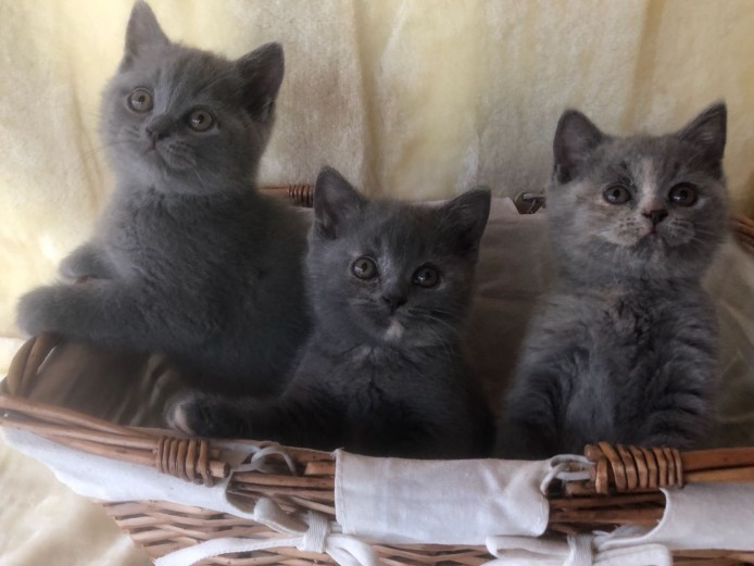 3 Lovely British Short Hair Kittens