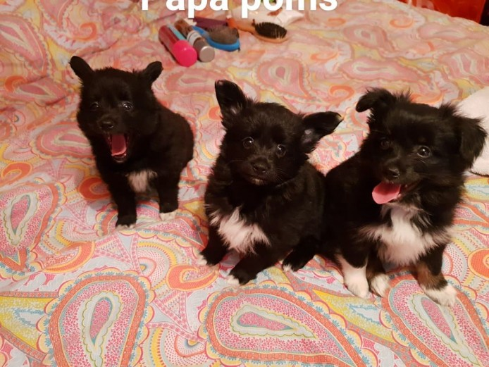 A mixture of Pomeranians, pomchis and papillons puppies for sale in Clacton On Sea