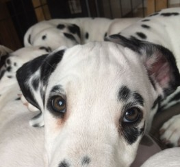 Pets  - KC Pedigree Dalmatian Puppies