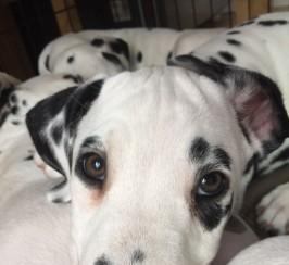 KC Pedigree Dalmatian Puppies