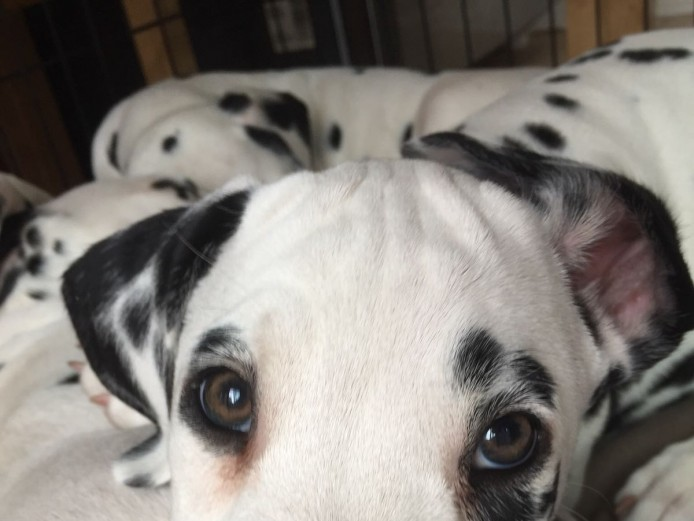 KC Pedigree Dalmatian Puppies