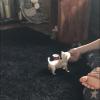 Pets  - Micro chihuahua