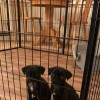 Pets  - Beautiful pug puppies ready now!!