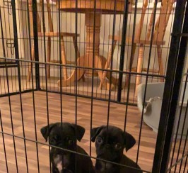 Beautiful pug puppies ready now!!