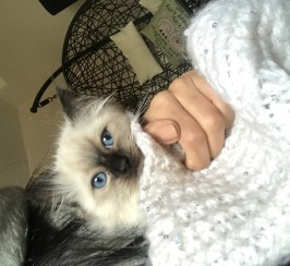 Ragdoll kittens
