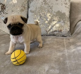 Super Cute Black and Fawn Kc Pug Puppies For Sale