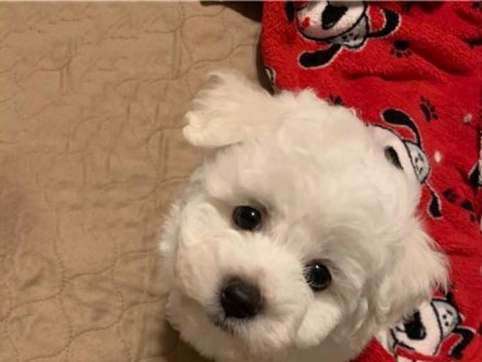 Beautiful Bichon Frise Puppies