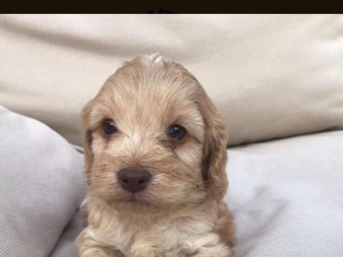 Absolutely stunning cockapoo puppies