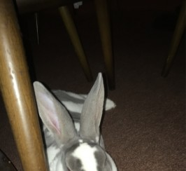 Loving and caring rex rabbit