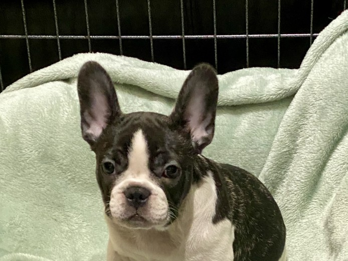 Beautiful pied Male French Bulldog