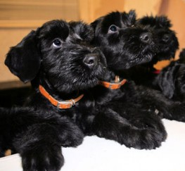 Pets  - Black Giant Schnauzer Litter