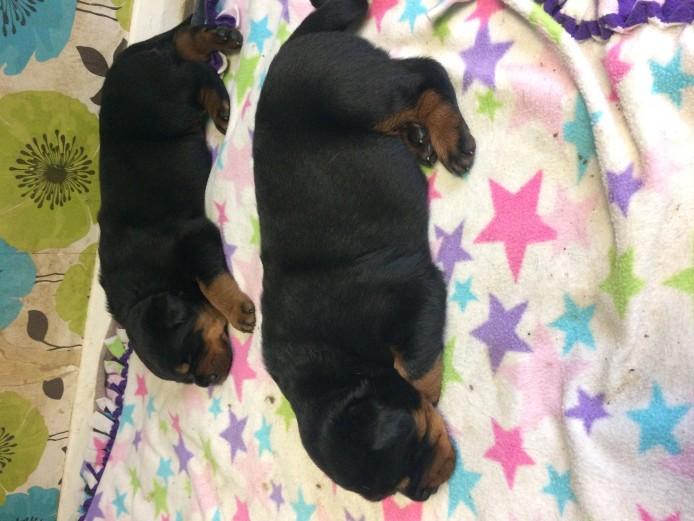 Chunky Rottweiler Bitch