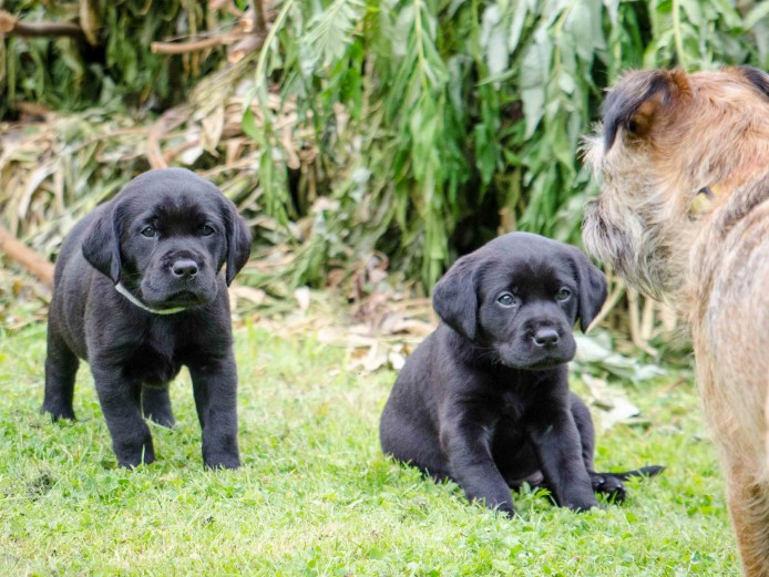 Stunning pedigree Labrador retriever pups