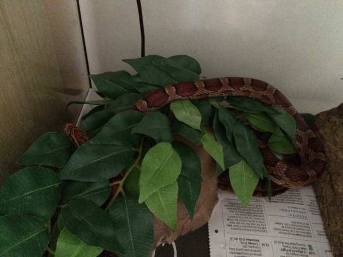 Corn Snake + Full Setup