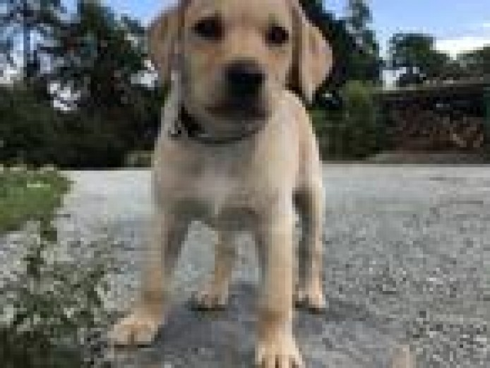 Labrador Puppies for sale (all female, vaccinated and microchipped)
