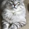 Pets for Sale - Pure bred Tica rej silvers Siberian