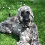 Pedigree Afghan Hound Puppies for sale