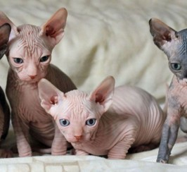 Sphynx kittens ready now
