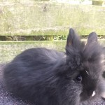 Male lionhead rabbit 16 weeks old