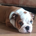 Outstanding Kc Reg English Bulldog Puppies