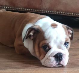Pets  - Outstanding Kc Reg English Bulldog Puppies