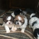 Beautiful Kc Shih Tzu Puppies
