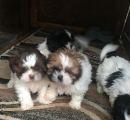 Pets  - Beautiful Kc Shih Tzu Puppies