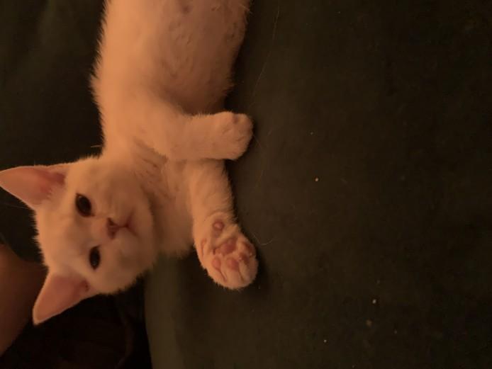 Beautiful British Shorthair Pedigree Kittens