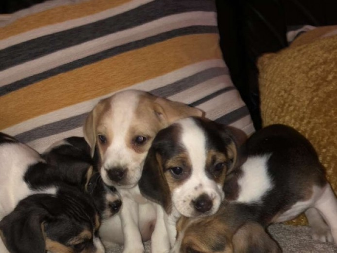 Beautiful beagle puppies