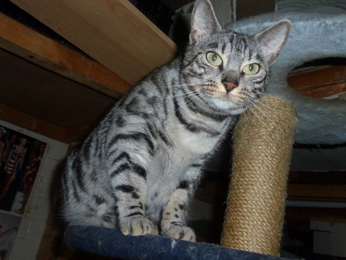 Female Silver Bengal Cat