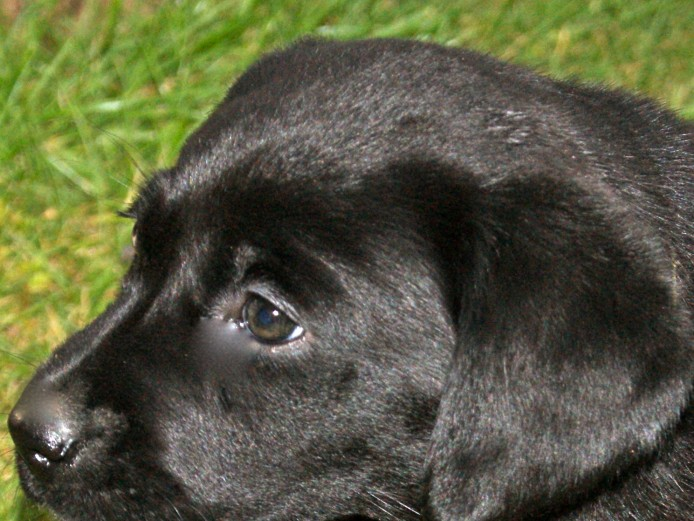 Pedigree Labrador retriever Puppys