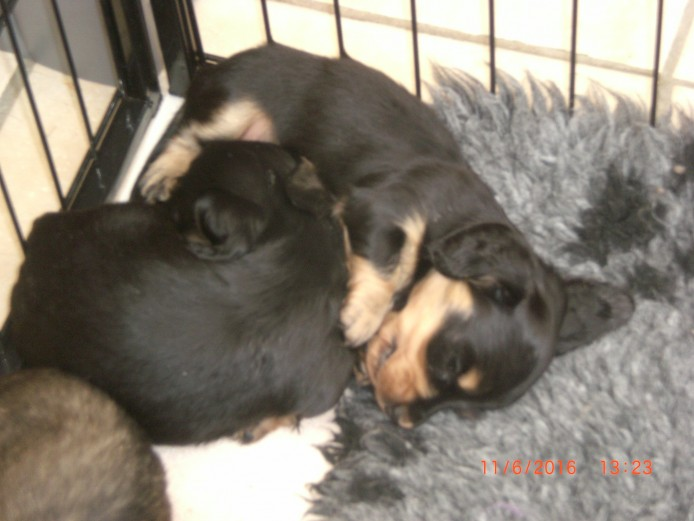 MINIATURE LONGHAIRED DACHSHUND PUPPIES