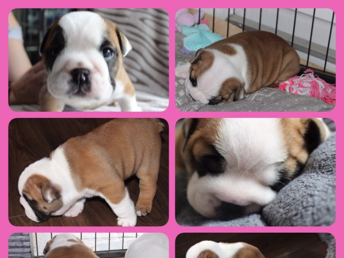 Exceptional British Bulldogs by KC Assured Breeder