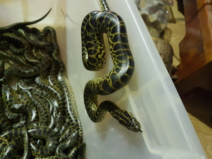 Yellow Anaconda CB18 x1 - x29 For Sale