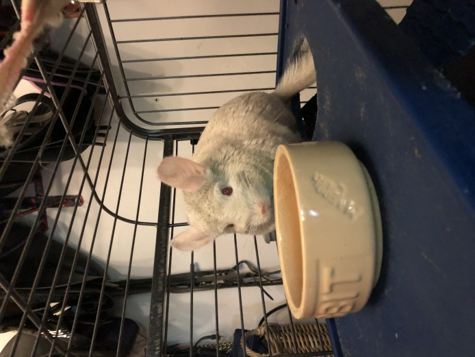 3 Chinchillas and cage and accessories for sale