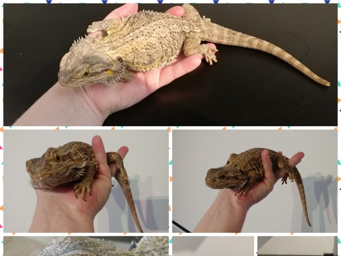 Female bearded dragon with vivarium