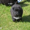 Pets  - Chow Chow X Samoyed puppies for sale